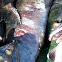 大马哈鱼批发价格,大马哈鱼市场价