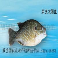 供应杂交太阳鱼、金边太阳鱼苗、太阳鱼苗