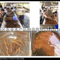 供应金草鱼、金草鱼苗、金草鱼水花、金草鱼成品