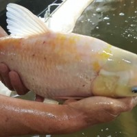 供应金丝鲩成品、金草鱼成品鱼、金丝鲩成品鱼