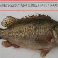 供应桂鱼苗、鳜鱼、桂花鱼苗