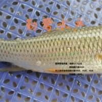 供应软刺草鱼成品鱼