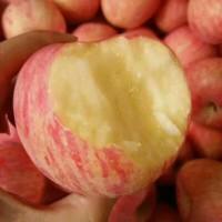 大量供应红富士苹果山东苹果价格15564255375