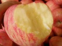 常年大量供应红富士苹果15564255375