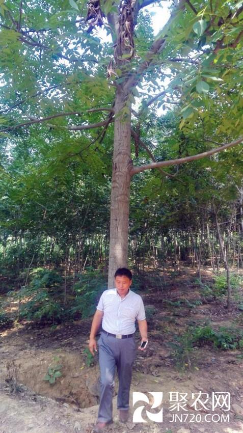 4-美国黑核桃速生型大树