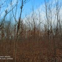 河南洛阳供应米径3-15公分美国山核桃树2020-2021