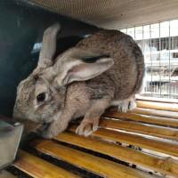 厂家供应比利时兔种兔保成活包教技术