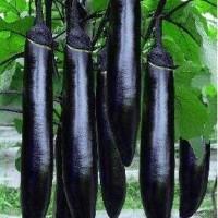 南充茄子苗厂家在哪 育紫黑茄子苗基地