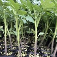 莱芜西红柿苗 抗死棵西红柿育苗厂家