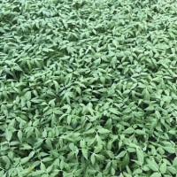 滨州育西红柿苗批发 番茄小西红柿苗釜山88基地