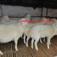 供应纯种梁山县澳洲白山湖羊杜泊羊高产小尾寒羊