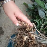 黄精种植 种苗基地优质批发 产量高包回收