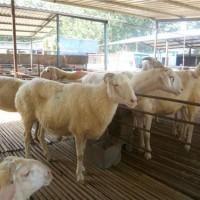 供应山东济宁澳洲白羊养殖基地澳洲白羊种羊供求价格