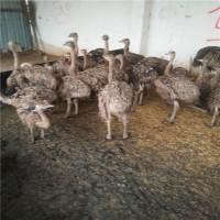 买脱温非洲鸵鸟苗价格来电济宁特种养殖基地订购和咨询